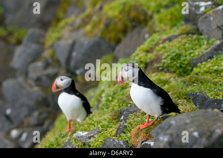 Norway, Svalbard Archipelago, Spitsbergen, Sassenfjorden. Atlantic puffin, Fratercula arctica, pair of adults perched - Stock Photo