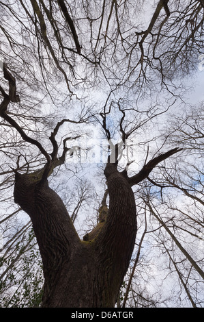 Thick well established tree canopy in protected ancient mature deciduous forest looking up skyward calm - Stock Photo