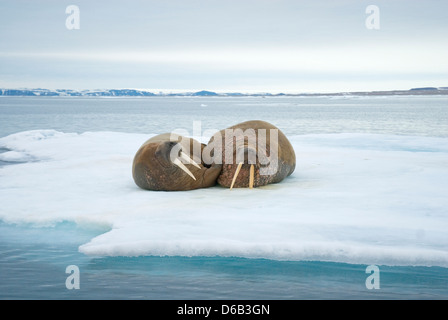Greenland Sea, Norway, Svalbard Archipelago, Spitsbergen. Walrus, Odobenus rosmarus, pair of adults rest on floating - Stock Photo