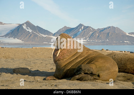 Norway, Svalbard Archipelago, Spitsbergen. Walrus, Odobenus rosmarus, bull rests on a sandspit in summer. - Stock Photo