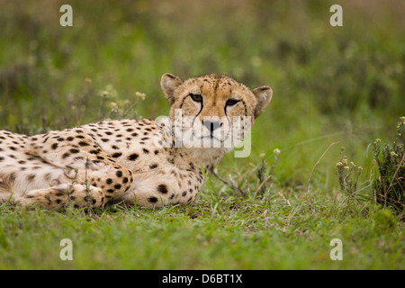 A young female cheetah relaxing. Phinda Game Reserve, South Africa. - Stock Photo