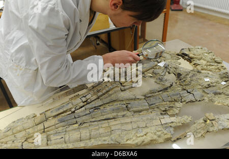 Employee of the Museum for Natural history Patrick Klein inspects the fossil remains of a newly discovered maritime - Stock Photo