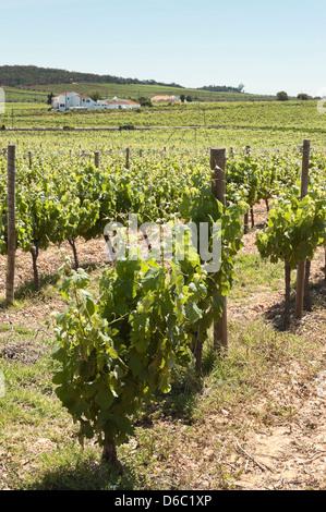 Vineyard in the fruit set season, Borba, Alentejo, Portugal - Stock Photo
