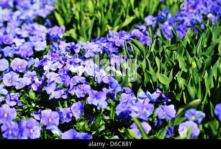 Blue Violets in the countryside - Stock Photo