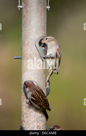 House Sparrows; Passer domesticus; on Seed Feeder; UK - Stock Photo