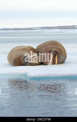 Greenland Sea, Norway, Svalbard Archipelago, Spitsbergen. Walrus, Odobenus rosmarus, pair of adults rest on floating - Stock Photo
