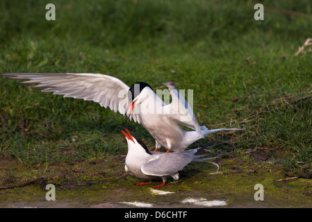 Mating Common terns - Stock Photo