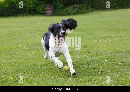 A purebred black and white English Springer Spaniel dog running chasing a ball whilst playing outside in a park. - Stock Photo