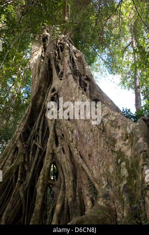 Nakhon Ratchasima, Thailand, a poplar fig- - Stock Photo