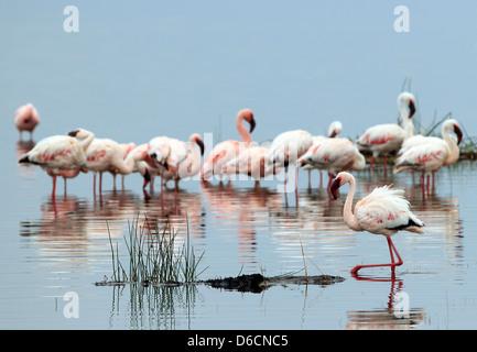 Lesser Flamingos (Phoeniconaias Minor), in Water, Lake Nakuru, Kenya - Stock Photo