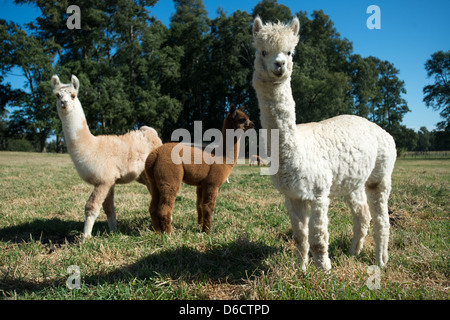 Alpaca (Vicugna pacos) on breeding farm located near Temuco in Chile