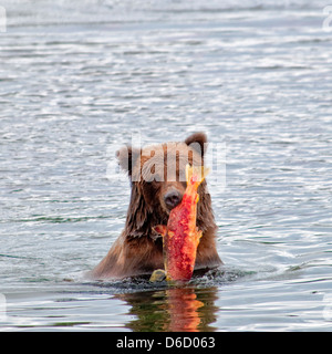 Grizzly Bear, Ursus arctos horriblis, carrying salmon out of the Brooks River, Katmai National Park, Alaska, USA - Stock Photo