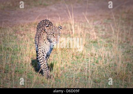 African Leopard, Panthera pardus, walking in the Masai Mara, Kenya, East Africa - Stock Photo