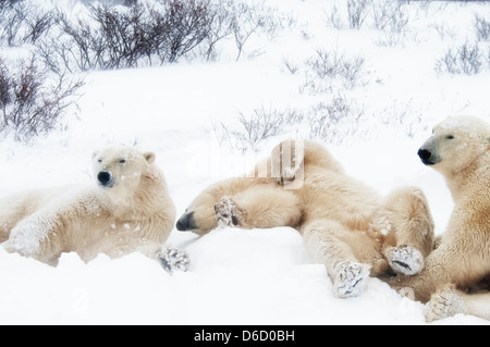 Three young Polar Bears, Ursus maritimus, hanging around together, Wapusk National Park, near Hudson Churchill, - Stock Photo