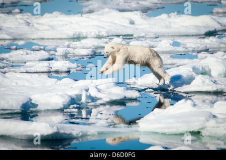 Polar Bear, Ursus maritimus, leaping over melting ice in the Olgastretet Pack Ice, Svalbard Archipelago, Norway - Stock Photo