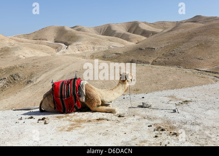 A camel in the desert of Judea - Stock Photo