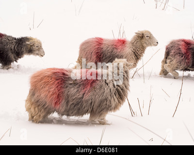 Sheep struggle in the unseasonal winter weather in Ambleside, Lake District, UK, in late March 2013. - Stock Photo