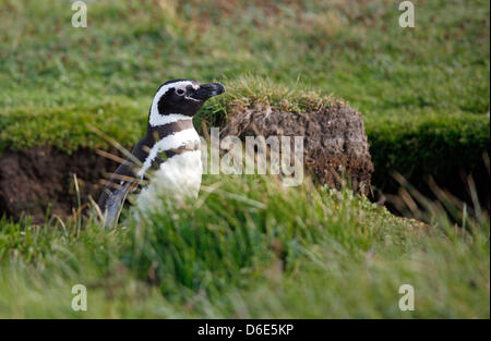 FILE - An archive picture dated 27 November 2008 shows a Magellanic penguin (Spheniscus magellanicus) hatching at - Stock Photo