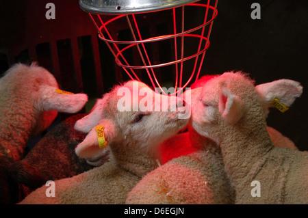 New-born lambs with heater - Stock Photo
