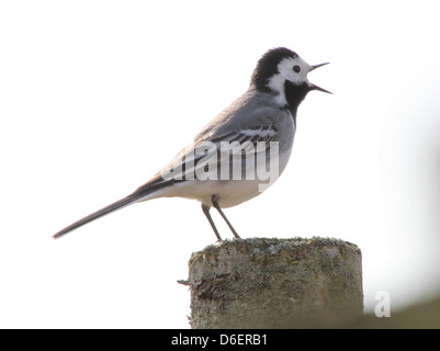 White wagtail (Motacilla alba) in song posing on a pole - Stock Photo