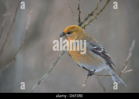 Female Pine Grosbeak (Pinicola enucleator). Europe. - Stock Photo