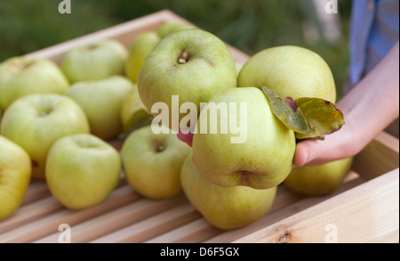 Bramley Apples - Stock Photo
