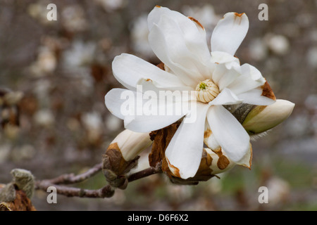 Close up of the buds and white flower of a Royal Star Magnolia tree - Stock Photo