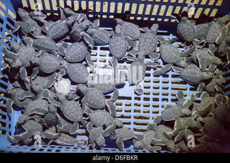 Newly hatched Green Turtles in a plastic bread basket waiting to be released into the sea on an island in Sabah - Stock Photo