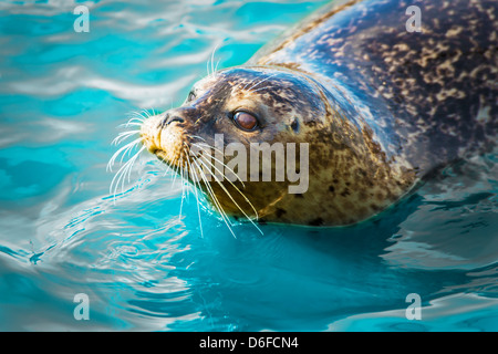 Gray seal floating in blue water. - Stock Photo