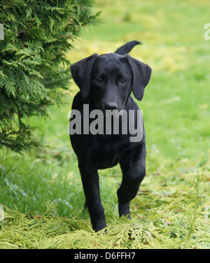 Six month old black Labrador Retriever puppy running towards camera - Stock Photo