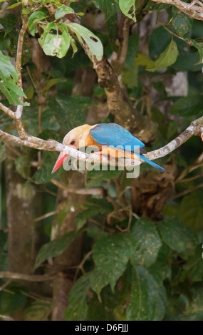 Stork Billed Kingfisher Pelargopsis capensis ready to dive on a fish in the Kinabatangan River in Sabah Borneo - Stock Photo