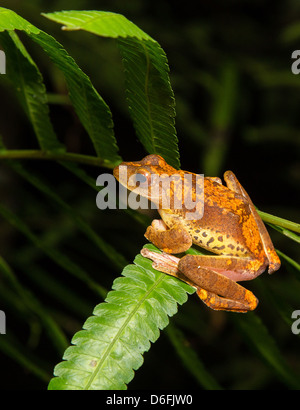 Harlequin Tree Frog Rhacophorus pardalis on a fern leaf in the Danum valley rainforest Borneo at night - Stock Photo