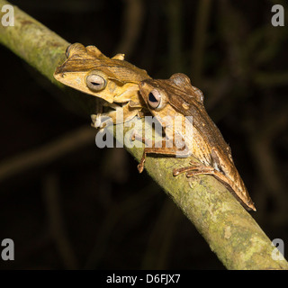 File Eared or Borneo Eared Tree Frog pair Polypedates otilophus on a tree branch  in the Danum Valley Sabah Borneo - Stock Photo