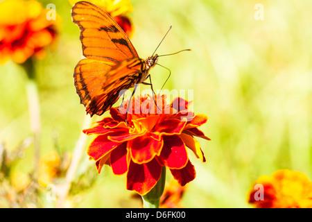 Orange Julia Longwing butterfly on a flower. - Stock Photo