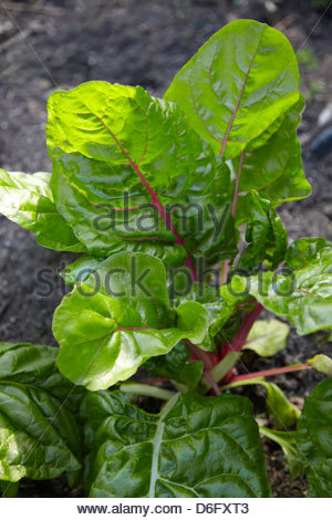Rainbow chard growing on a vegetable patch - Stock Photo