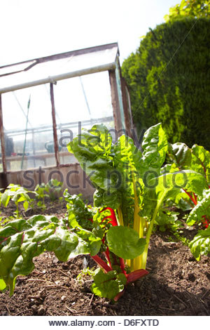 Rainbow chard growing on a vegetable patch with greenhouse - Stock Photo