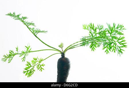 Organic Blood carrots tops - Stock Photo
