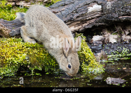 Young wild rabbit (Oryctolagus cuniculus) drinking from a woodland pool, Lee Valley, UK - Stock Photo