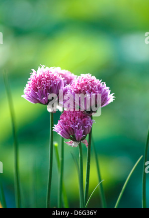 Chive Flowers, Growing on an Allotment - Stock Photo