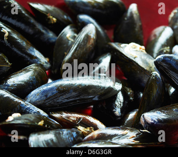 Fresh live Scottish Mussels - Stock Photo