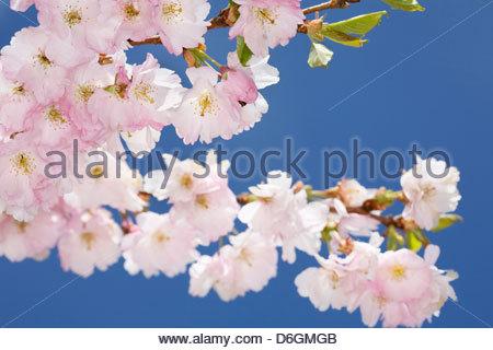 Cherry tree in full blossom Munich Germany - Stock Photo