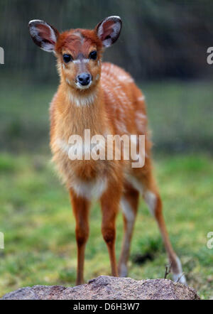 Female Situtunga antelope 'Changa' is pictured at the zoo in Cologne, Germany, 01 March 2012. The marshbuck was - Stock Photo