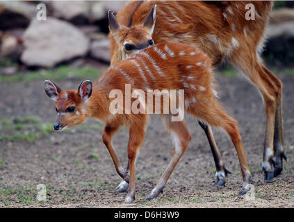 Female Situtunga antelope 'Changa' is pictured next to her mother 'Christel' at the zoo in Cologne, Germany, 01 - Stock Photo