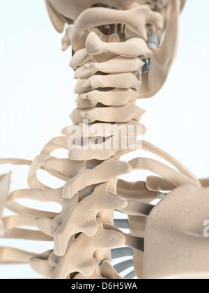 The Bones Of The Head And Neck Stock Photo Royalty Free Image