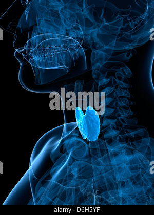 Healthy thyroid, artwork - Stock Photo