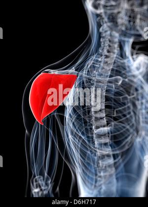 Shoulder muscle, artwork - Stock Photo
