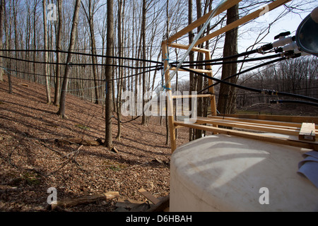 Maple Sap Being Tapped from Sugar Maple Trees and Sent via Tubes to Evaporator to be Made into Maple Syrup Outside - Stock Photo