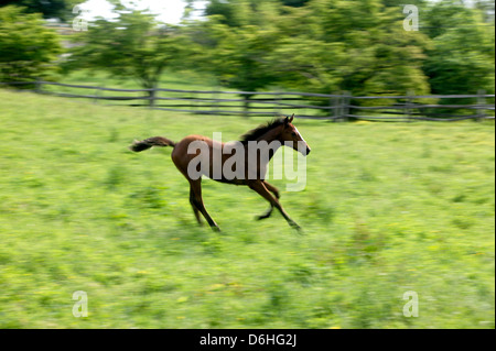 Pan blur action view of spirited colt running & playing on Thoroughbred Horse Farm In Chester County, Pennsylvania, - Stock Photo