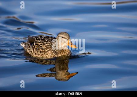 Mallard Duck Female Swimming with Reflection - Stock Photo