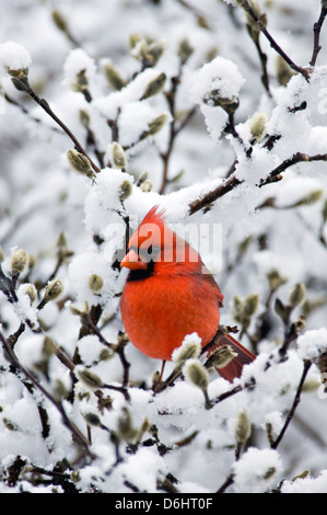 Male Northern Cardinal Perched On Snow Covered Branch Of Star Magnolia Tree - Floyd County - Stock Photo